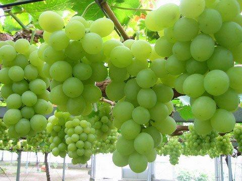زراعة العنب في المنزل
