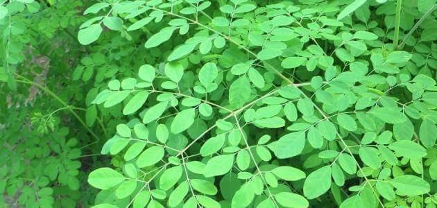 نبتة المورينجا